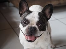A funny little French bulldog with bright eyes stock images