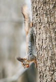 Funny little furry squirrel climbing tree with nut in his teeth Stock Image
