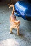 Funny little ginger kitten of Thassos Stock Photography