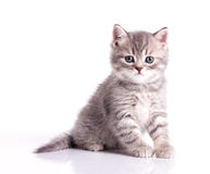 Funny little grey kitten Royalty Free Stock Photos
