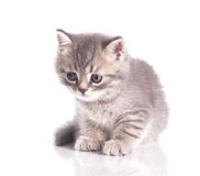 Funny little grey kitten Royalty Free Stock Image