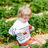 Funny little kid picking and eating strawberries on berry farm Royalty Free Stock Images