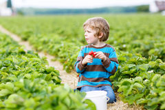 Funny little kid picking and eating strawberries on berry farm Royalty Free Stock Photography