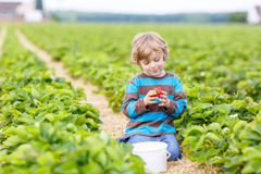 Funny little kid picking and eating strawberries on berry farm Royalty Free Stock Image