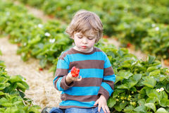 Funny little kid picking and eating strawberries on berry farm Royalty Free Stock Photos