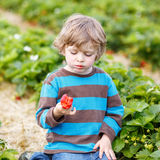 Funny little kid picking and eating strawberries on berry farm Royalty Free Stock Photo