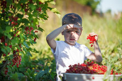 Funny little kid picking up red currants from currant bush in a garden. Stock Photos
