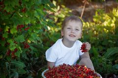 Funny little kid picking up red currants from currant bush in a garden Royalty Free Stock Photos