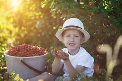 Funny little kid picking up red currants from currant bush in a garden Royalty Free Stock Images