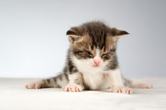 Funny little kitten Stock Photography