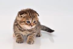 Funny little kitten Stock Photography