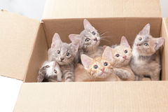 Funny little kittens in a box Royalty Free Stock Image