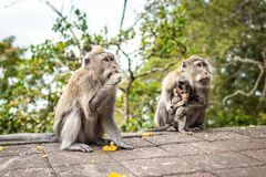 A funny little macaque on the nature background. Bali island. stock photography