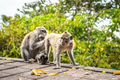 A funny little macaque on the nature background. Bali island. royalty free stock images