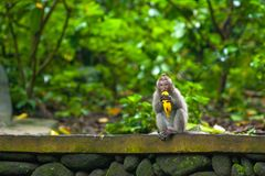 Cute monkeys lives in Ubud Monkey Forest, Bali, Indonesia. A funny little macaque with a tuft on his head, holds a banana in his mouth, sits on a stone fence Royalty Free Stock Photo