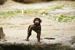 Funny little monkey Royalty Free Stock Images