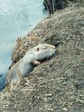 Funny little nutria royalty free stock image