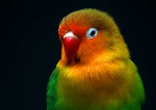 Funny little parrot. A little colorful birdie Royalty Free Stock Photos