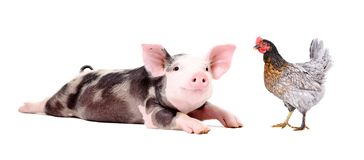 Funny little pig and chicken together. Isolated on white background stock image