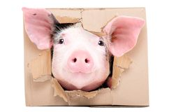 Funny little pig looks out of a torn hole in a box. Isolated on white background royalty free stock photos
