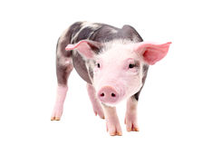 Funny little piglet Stock Photo