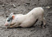 Funny little piglet stock image