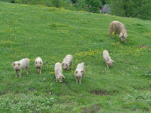 Funny little piglets and big pig on green meadow Royalty Free Stock Image