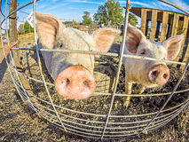 The funny little pigs on farm. The funny little pigs on  farm Royalty Free Stock Photography