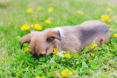 Funny little puppy lying on the grass,his face buried in it.  royalty free stock photography
