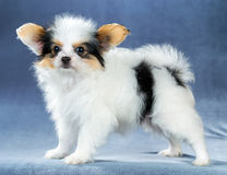 Funny little puppy Papillon Stock Image