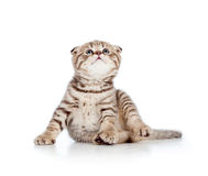 Funny little Scottish fold kitten looking up Royalty Free Stock Photography