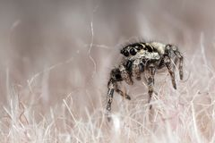 Jumping spider ont the synthetic fur. Funny little spider on a synthetic fur Stock Image