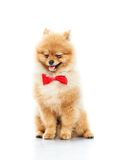 Funny little spitz Royalty Free Stock Photos