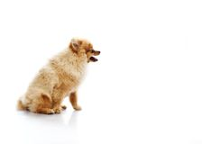 Funny little spitz Stock Images