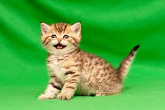 Funny little spotted Golden British kitten looks at the camera and says meow. Standing on a green background royalty free stock photo