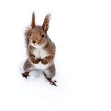 Funny little squirrel with fluffy tail standing on snow Stock Image