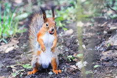 Funny little squirrel standing on his hind paws in the Park with the walnut Royalty Free Stock Photos