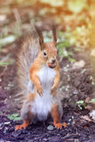 Funny little squirrel standing on his hind paws in the Park with the walnut Stock Images