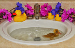A Funny Little Swim. A tiny duckling learning to swim in a bathroom sink Royalty Free Stock Image