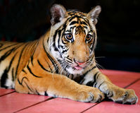 Funny little tiger Stock Image