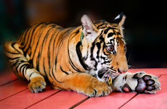 Funny little tiger Royalty Free Stock Photos