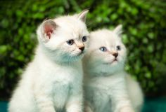 Funny little white kitten with blue eyes royalty free stock photo