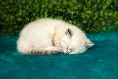 Funny little white kitten with blue eyes stock images