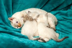 Funny little white kitten with blue eyes stock photos
