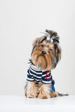Funny little Yorkshire terrier in pullover royalty free stock image