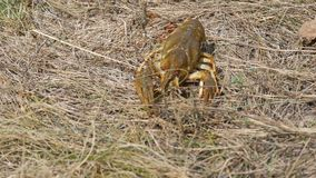 A funny lively crayfish crawls backwards in the dry grass on a lake. A funny lively crayfish crawls backwards in the dry grass on the lake stock video