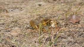A funny lively crayfish crawls backwards in the dry grass on a lake. A funny lively crayfish crawls backwards in the dry grass on the lake stock footage