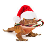 Funny Lizard Eating Christmas Candy Cane Stock Photos