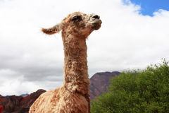 Funny llama. A funny looking llama with prominent teeth in Cafayate Royalty Free Stock Images