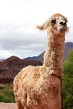 Funny llama. A funny looking llama with prominent teeth in Cafayate Stock Image